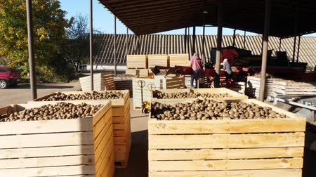amido : harvested potatoes standing in large wooden containers, boxes, filled to top. potatoes waiting to go to market for sale. annual potatoes harvesting period on farm. agricultural production sector.