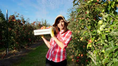 pick : in the suns rays, female farmer in plaid shirt and hat walks between the rows of apple trees. she holds box with fresh juicy, selective apples. red apple harvest in the garden, on the farm.