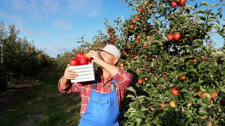 apple orchard : in the suns rays, male farmer in plaid shirt and hat holds box, full of ripe fresh juicy, selective apples. he picks apples, walks between the rows of apple trees. red apple harvest in the garden, on the farm. Stock Footage