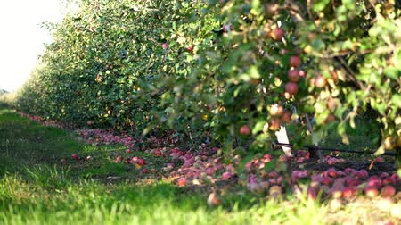 abundante : close up, Many ripe fallen apples lying on the ground under apple trees in an orchard. early autumn. harvest of apples on the farm.