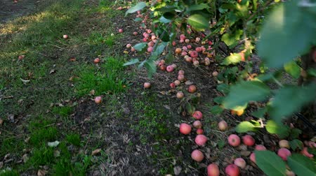apple tree : close up, Many ripe fallen apples lying on the ground under apple trees in an orchard. early autumn. harvest of apples on the farm.