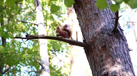 sciurus : squirrel sitting on a branch and eating a walnut, in autumn park. warm autumn sunny day. Stock Footage