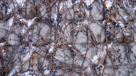 gözenekli : close-up, dry blue grapes on bare branches of bushes, under snow, on a background of a brick wall. winter, frosty, snowy, sunny day.
