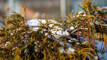 веточки : winter, frosty, snowy, sunny day. close-up, eternally green bushes, on a flowerbed in the garden hid under a thick layer of snow.