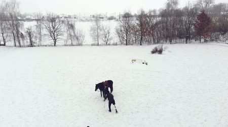 víziló : aero, top view, winter, disabled man walking along snowy field. he has prosthesis instead of his right leg. female equestrian trainer stands near black horse. rehabilitation of the disabled with animals.