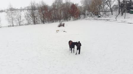hippo : aero, top view, winter, disabled man stands near black horse on snowy field. he has prosthesis instead of his right leg. he learns to ride horse, hippotherapy. rehabilitation of disabled with animals.