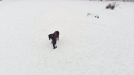 positive vibes : aero, top view, winter, disabled man stands near black horse on snowy field. he has prosthesis instead of his right leg. he learns to ride horse, hippotherapy. rehabilitation of disabled with animals.