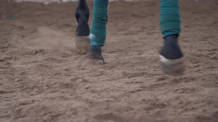 terbiye : horse training. close-up, hooves, legs of a horse running along the sand. the horses front legs are tied with a special bandage tape Stok Video