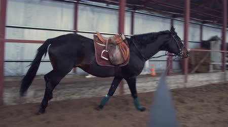 terbiye : In a special hangar, a coach trains beautiful black, thoroughbred horse. he jumps, runs in a circle, around. horse training