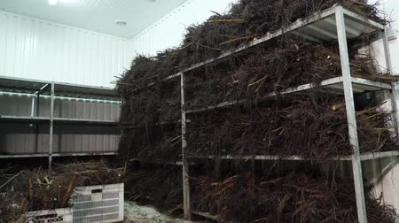 step : special chamber for storing walnut stock, walnut seedlings with a root system. high-quality grafted seedlings for laying a walnut orchard. walnut cultivation