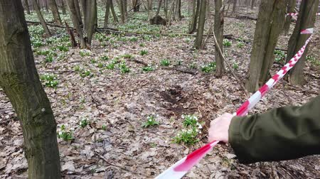 cloture : hand holding red fencing tape. Blooming snowdrops in spring forest, a protected area, fenced with a red ribbon. Snowdrops are rare flowers recorded in the Red Book, are protected by law.