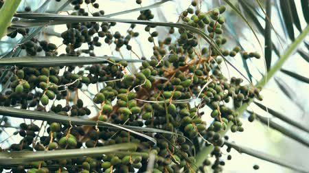 szubtropikus : close-up, big bunch of green dates on palm branches. Stock mozgókép