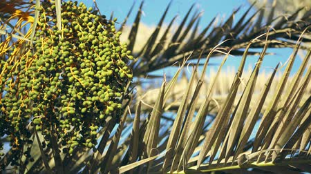 subtropical : close-up, big bunch of green dates on palm branches. Stock Footage
