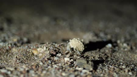hermit crab : night, close-up, a small hermit crab crawling in the sand. Stock Footage