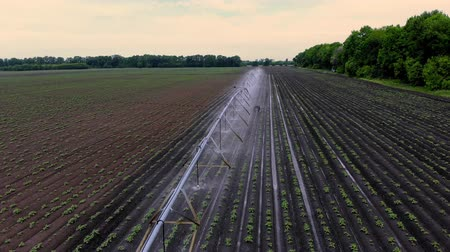 spil : aero view from above, potatoes grow on field, irrigated by a special watering pivot sprinkler system. it waters small green bushes of potatoes planted in rows on field. warm spring day Stockvideo
