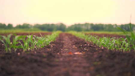 фотосинтез : Corn field, Rows of young corn plants, seedlings on fertile, moist soil, warm spring day, growing corn in an agricultural field