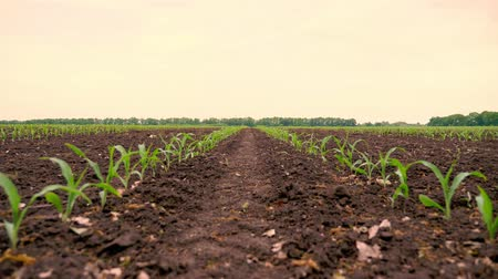 foods : Corn field, Rows of young corn plants, seedlings on fertile, moist soil, warm spring day, growing corn in an agricultural field