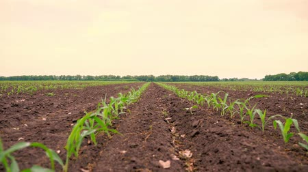 fotosíntesis : Corn field, Rows of young corn plants, seedlings on fertile, moist soil, warm spring day, growing corn in an agricultural field