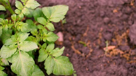 agricultural lands : top view, close-up of young potato bush. Rows of young green sprouts of potatoes are growing on farm field, potato plantation. Farming. Agriculture. organic, selective vegetables