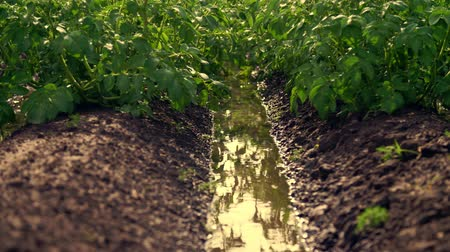 irrigação : close-up, green potato bushes after irrigating by a special watering pivot sprinkler system. potato bushes are planted in rows on farm field . there are big pools between the rows Vídeos