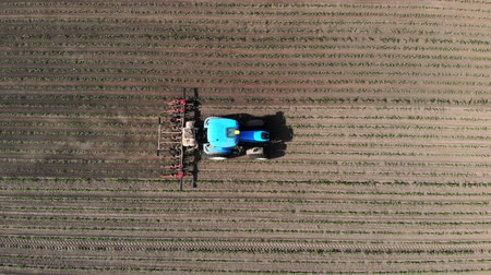 kiełki : aero, top view. big tractor rides through the field with a young corn . the process of inter-row processing of corn crops. On the Sunset. Spring. Wideo