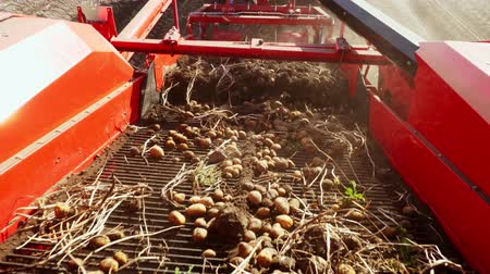 sillons : early autumn. harvesting potatoes on an agricultural field. a special machine, tractor digs up potatoes and pours it into the back of a truck Vidéos Libres De Droits