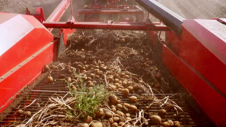 poros : early autumn. harvesting potatoes on an agricultural field. a special machine, tractor digs up potatoes and pours it into the back of a truck Stock mozgókép