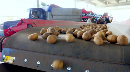 sorteren : CHERKASY, UKRAINE, SEPTEMBER 20, 2019: Potatoes move on special conveyor machinery belt in agricultural enterprise, farm. potato harvesting, crop.