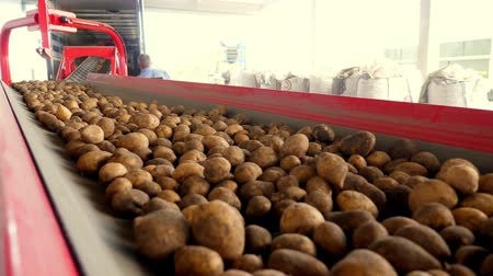 hlíza : close-up, Potatoes move on special conveyor machinery belt and fit into a storage room, a warehouse for winter storage. potato harvesting, crop Dostupné videozáznamy