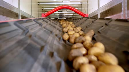 изобилие : close-up, Potatoes move on special conveyor machinery belt and fit into a storage room, a warehouse for winter storage. potato harvesting, crop Стоковые видеозаписи