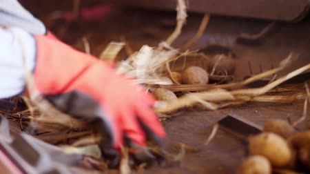 grande grupo de objetos : close-up, hands in working gloves clean from dirt and soil , sifting from debris, sprouts. Potatoes move on special conveyor machinery belt . potato harvesting, crop Vídeos