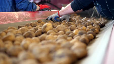 сортировать : close-up, hands in working gloves clean from sprouts. potato sorting process. Potatoes move on special conveyor machinery belt . potato harvesting, crop