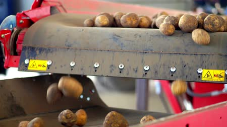 сортировать : close-up, automated potato cleaning from dirt and soil , sifting from debris, sprouts. Potatoes move on special conveyor machinery belt . potato harvesting, crop.