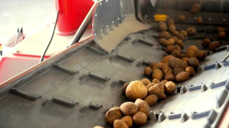 sorteren : close-up, Potatoes move on special conveyor machinery belt . potato harvesting, crop