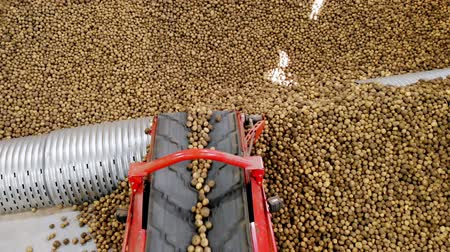 perspectiva : close-up, Potatoes move on special conveyor machinery belt and fit into a storage room, a warehouse for winter storage. potato harvesting, crop Stock Footage