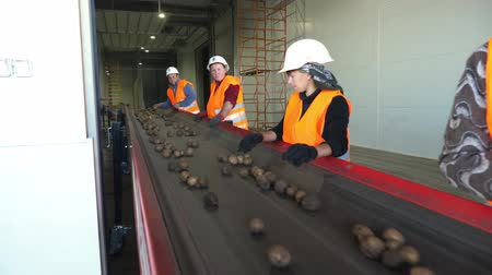 sorteren : CHERKASY, UKRAINE, OCTOBER 1, 2019: Employees sort potatoes on conveyor machinery belt, before putting it into Modern Potato storage warehouse. farming, potato harvest Stockvideo