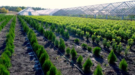 hydroponic : growing ornamental evergreen nursery trees , thuja, boxwood for sale on tree farm. farming, greenhouse farming