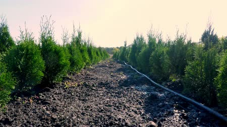 ginepro : growing ornamental evergreen nursery trees , thuja, boxwood for sale on tree farm. farming, greenhouse farming