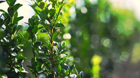 heg : close-up, boxwood leaves sway in the wind, in the sun. juicy green boxwood bush. growing ornamental evergreen nursery boxwood for sale on tree farm. farming, greenhouse farming