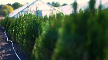 cipreste : growing ornamental evergreen nursery thuja trees for sale on tree farm. farming, greenhouse farming