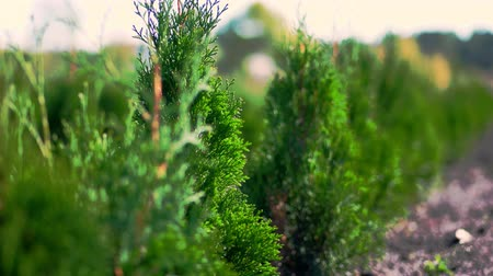 cypřiš : close-up, thuja sways in the wind, in the sun. juicy green thuja . growing ornamental evergreen nursery thuja for sale on tree farm. greenhouse farming