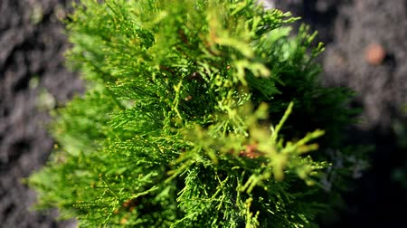 ginepro : close-up, Top view, thuja sways in the wind, in the sun. juicy green thuja . growing ornamental evergreen nursery thuja for sale on tree farm. greenhouse farming