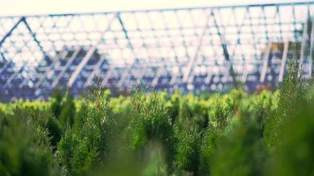 ginepro : growing ornamental evergreen nursery thuja trees for sale on tree farm. farming, greenhouse farming