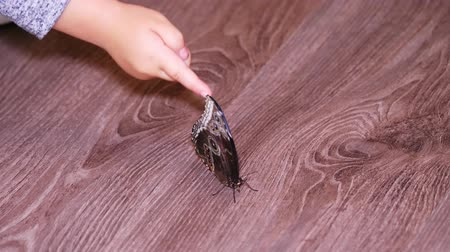 close-up. a little girl, child touch a large alive tropical butterfly , examine it indoors, in the apartment. a Ulysses Swallowtail is a large swallowtail butterfly of Australasia.