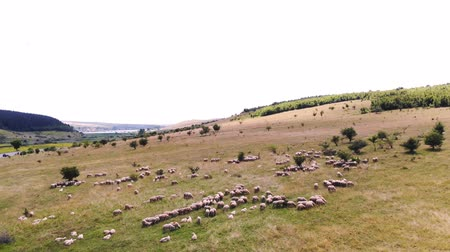herder : aero panoramic view of a flock of sheep grazes in the meadow. a flock of birds flies in the sky. Transylvania, Romania, Europe. beautiful summer landscape, Stock Footage