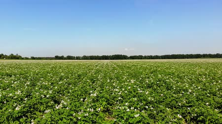 flor cabeça : aero. flowering potatoes. white, pale pink flowers bloom on potato bushes on a farm field. potato growing. breeding potato varieties. summer hot sunny day. Vídeos