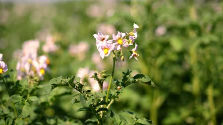 batatas : close-up, flowering potatoes. white, pale pink flowers bloom on potato bushes on a farm field. potato growing. breeding potato varieties. summer hot sunny day.