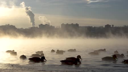 gory : Ducks on the misty.