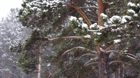 monte de neve : Snowfall in the pine forest.