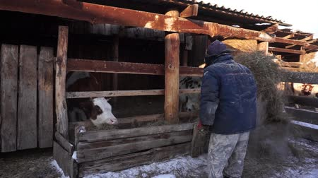 breeder : A farmer works with household chores. Cattle. Village.